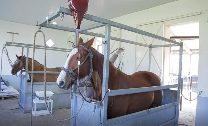 De cada extracción de sangre que se le hace a un caballo se pueden obtener 300 tratamientos.
