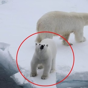Brave little polar bear defends his mother by roaring at tourists