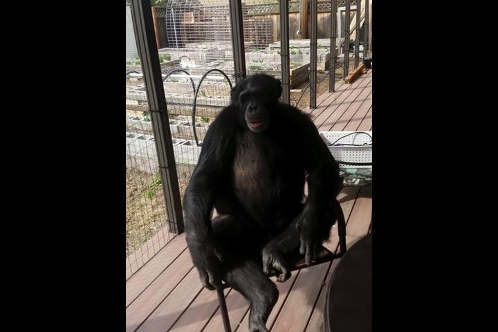 Chimpanzee.  He was euthanized.  File Photo: Buck Brogoitti Animal Rescue INC.