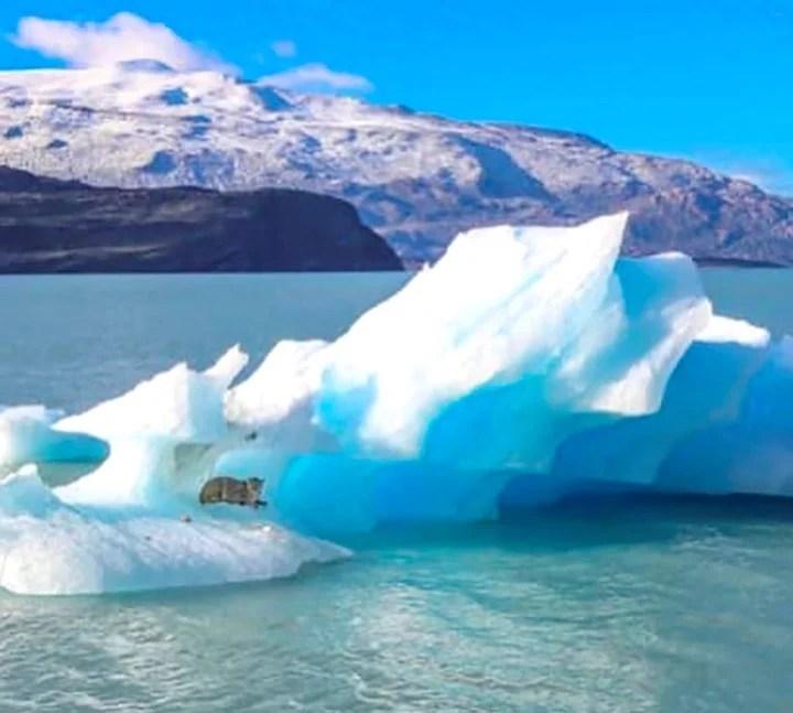 Un puma apareció trepado a un glaciar en el Lago ARgentino Foto: /Milton Rischmann