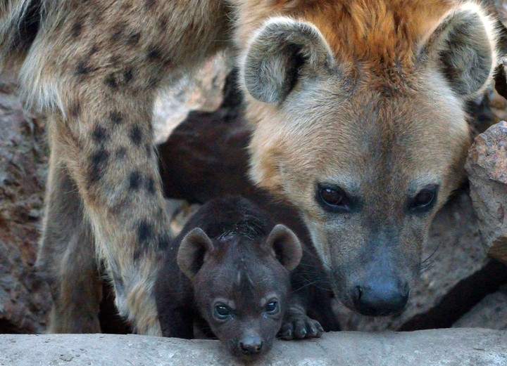 The hyenas used the cave as a maternal den (AFP).