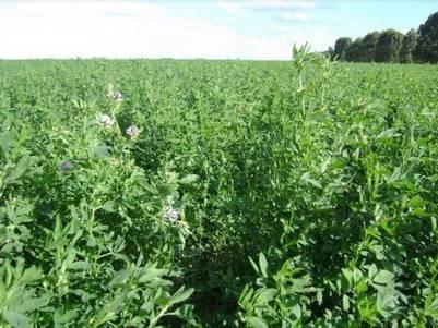 En una coyuntura económica muy difícil, los tamberos tuvieron que volver a sembrar alfalfa y otras pasturas.