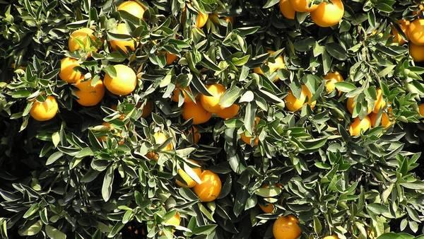 La naranja se pagó 10,33 veces más en la góndola de lo que se le paga al productor.