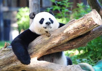 Un panda gigante, en el Zoo Nacional de Washington (AFP)