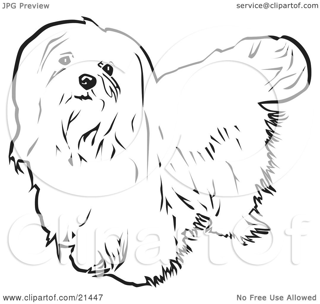 Clipart Illustration Of A Long Haired Maltese Dog Looking