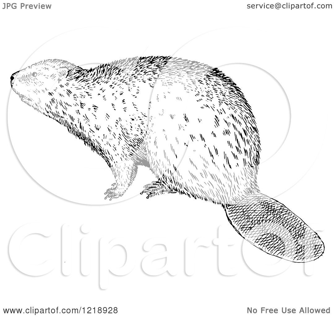 Clipart Of A Black And White Beaver