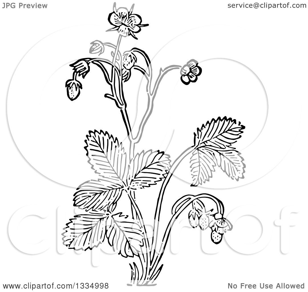 Clipart Of A Black And White Woodcut Herbal Medicinal Wild