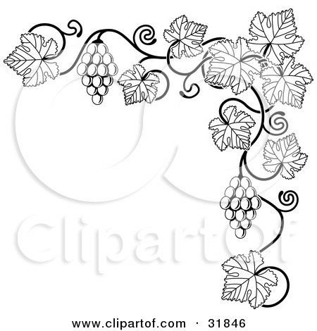 clipart illustration of a black and white grape vine with bunches