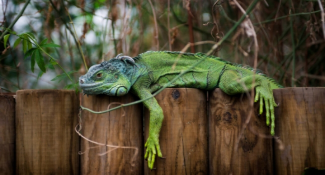 Lizard lying on fence at Tropical World