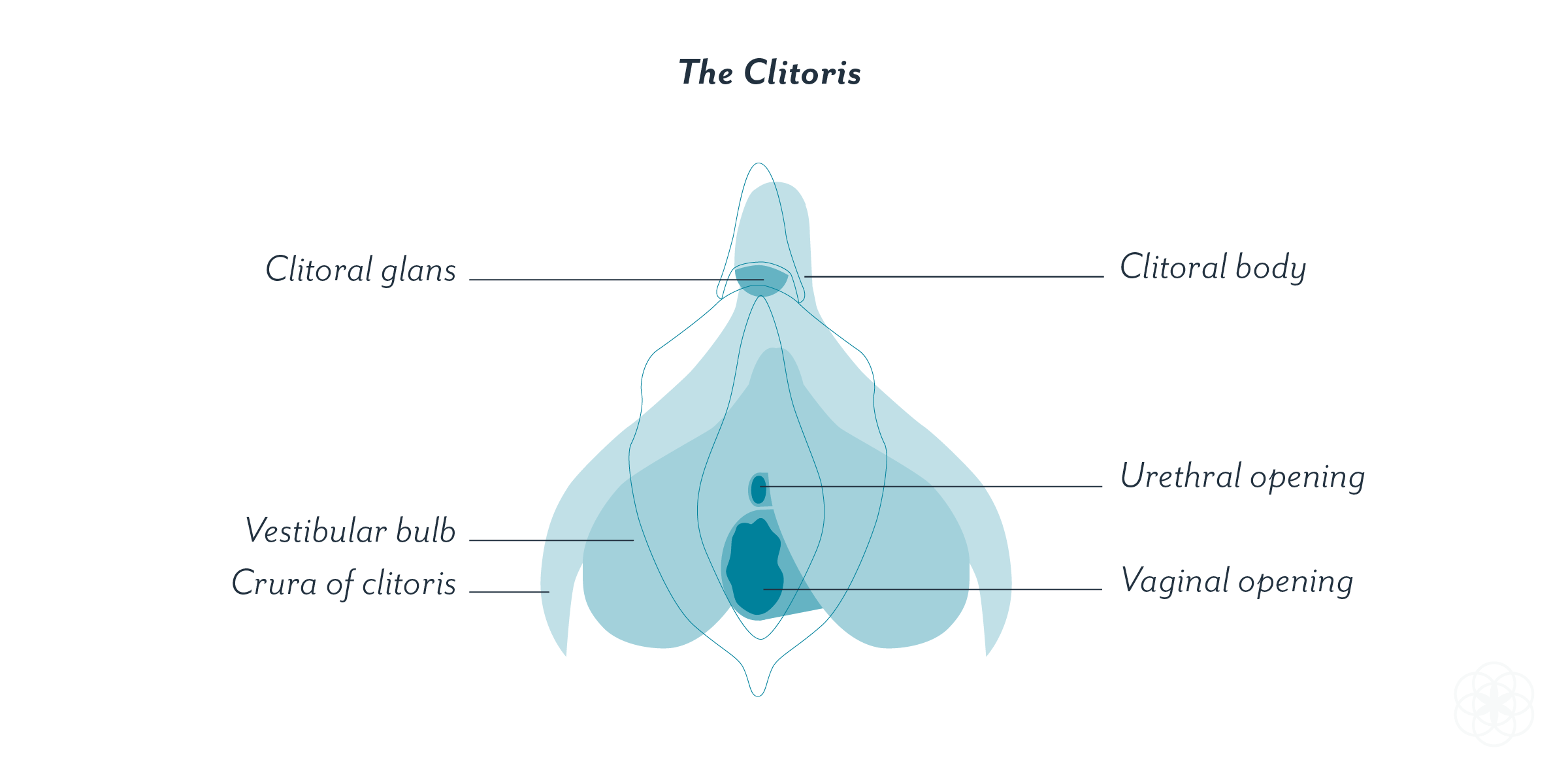 A labeled illustration of the clitoris