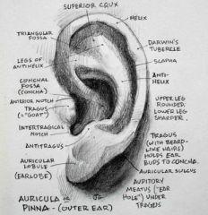 USU COMD 3400 Outer & Middle Ear Flashcards - Cram.com
