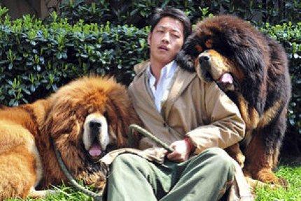 Tibetan mastiff twins sell for record-breaking $3 million in China -  CSMonitor.com