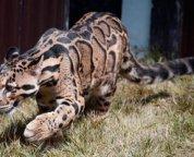 formosan misty leopard neofelis nebulosa brachyura 2013