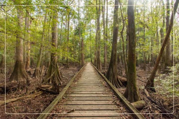a boardwalk below canopies of champion trees in Congaree National Park, a dog-friendly national park where one can go hiking with dogs