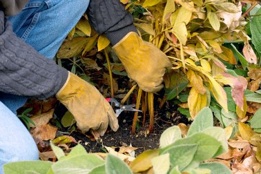 Fall-cleanup-peony: Keep disease away by removing infected foliage in fall.