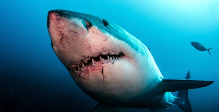https://i2.wp.com/images.dailyhive.com/20170725123210/Great-white-shark-Tomas-KotoucShutterstock.jpg?w=736