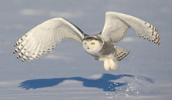 SnowyOwl-Mandel_1_.jpg