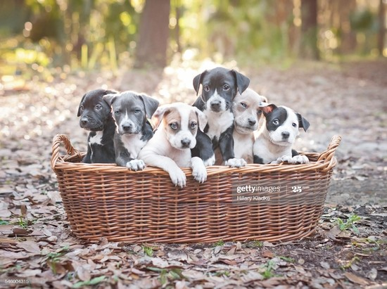 Six two-month-old Pit Bull puppies sitting in a wooden basket outdoors.