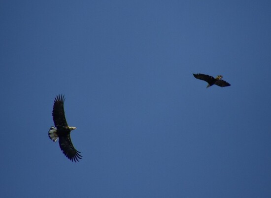 Bald eagles chasing each other.