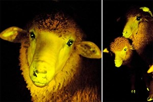 Wissenschafter in Uruguay haben Schafe zum Leuchten gebracht. Die Experimente dienten dazu, die Methode der Genmanipulation auf ihre Praxistauglichkeit zu überprüfen.