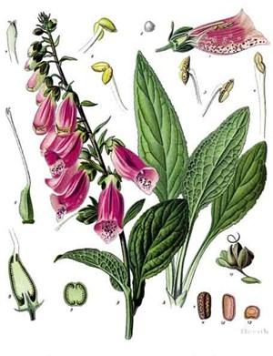 foto: wikipedia/gemeinfrei - franz eugen köhler, köhler's medizinal-pflanzen Alle Pflanzenteile des Roten Fingerhutes sind hochgiftig. Typische Symptome: Übelkeit, Erbrechen und Schwindelanfälle.