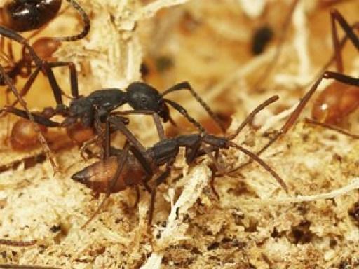 Zwischen dem Käfer Ecitophya simulans (vorne) und seiner Wirtsameise Eciton burchellii ist die Unterscheidung schon schwieriger.