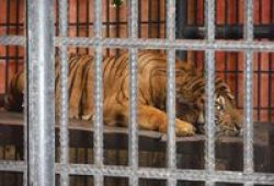 Tolong! Giring Si Harimau Sumatera Terancam Mati Di Kandang