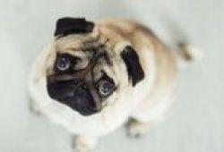 Anjing Hidung Pesek Lebih Penyayang Daripada Anjing Bermoncong Panjang