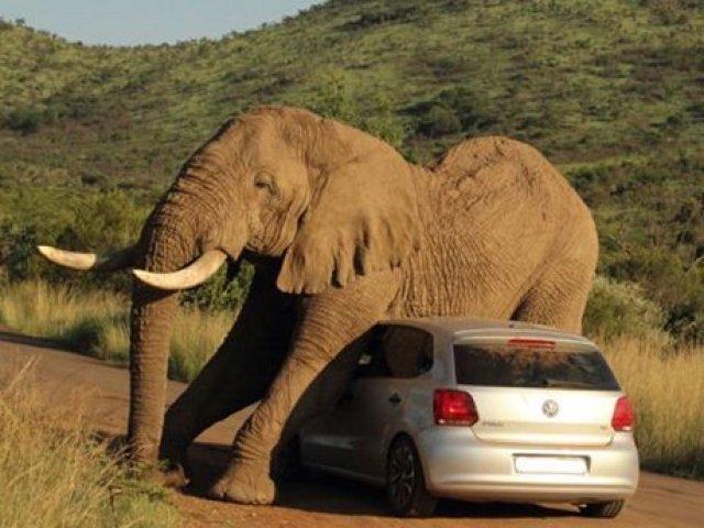 gajah-kawin-dengan-mobil-vw-poloada-ada-saja-d
