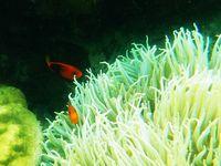 FIre Clownfish, seolah-olah mengajak kita bermain petak umpat