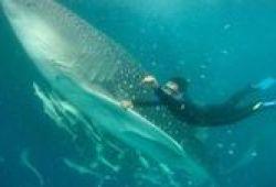 Diving Di Indonesia, Bisa Jumpa Ikan Terbesar Di Dunia