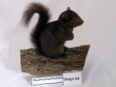 Grey Squirrel; Letchworth, Herts; 1/NZ/1145