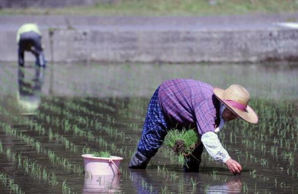 Reino Unido será el primer país europeo en volver a vender arroz de Fukushima