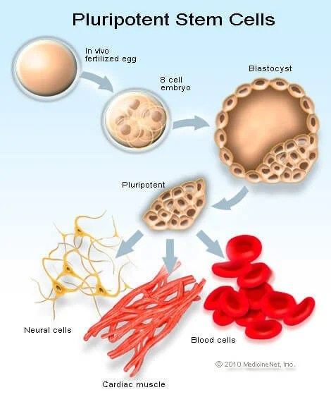 Picture of the stem cell cycle, stem cells, importance of stem cells