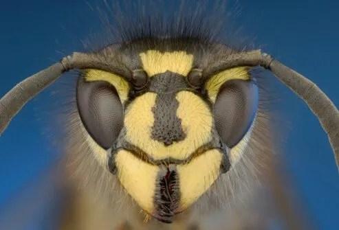 Close up view of a yellow jacket wasp.