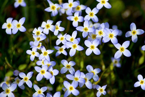 Dancing Bluet Flowers Art Prints for Sale