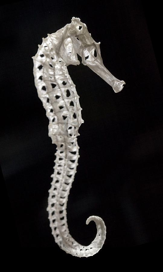 Seahorse Skeleton Vertebrate Exoskeleton Photograph By Paul D Stewart