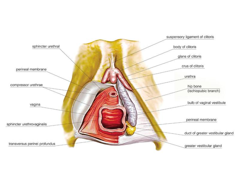 anatomy of female genital » Path Decorations Pictures | Full Path ...