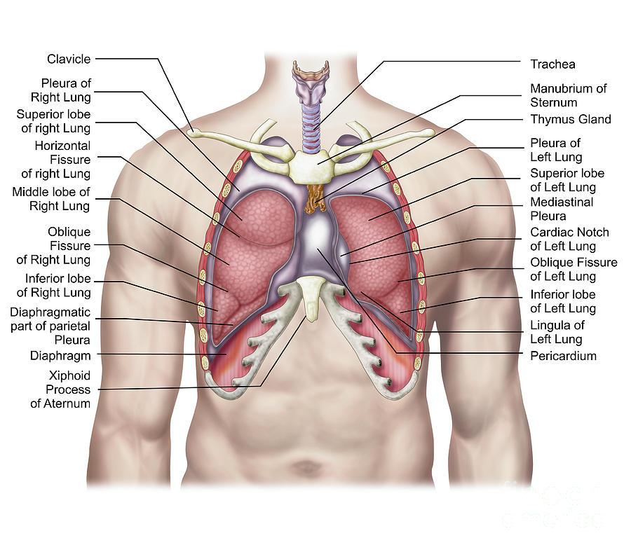 The Anatomy Of Lungs Pleura Diagram