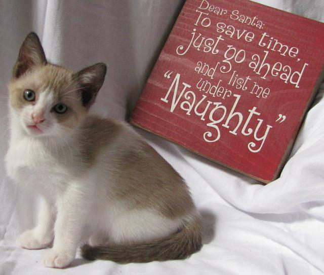 Christmas Photograph Funny Christmas Kitten Naughty Two By Pamela Benham