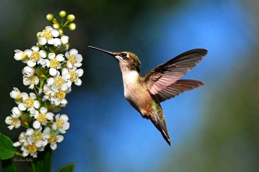 Photo Art by Christina Rollo Just Looking Hummingbird