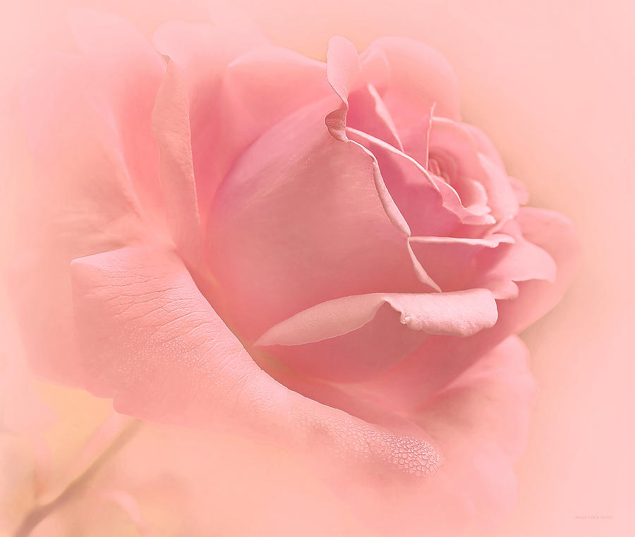 https://i2.wp.com/images.fineartamerica.com/images-medium-large-5/just-peachy-pink-rose-flower-jennie-marie-schell.jpg