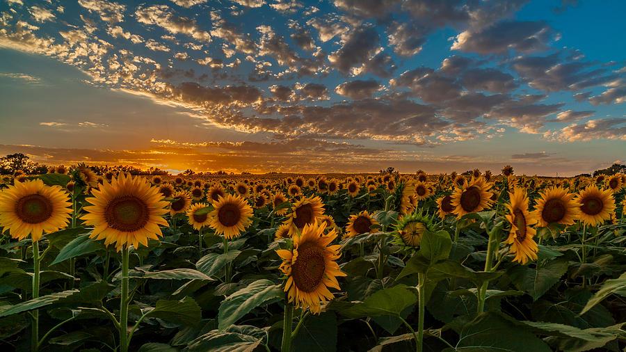 Kansas Sunflower Fields Photograph By Andrei Foto