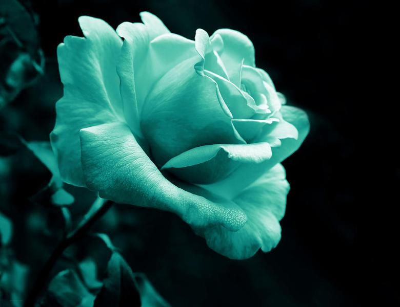 Midnight Rose Flower In Teal Photograph by Jennie Marie Schell Rose Photograph   Midnight Rose Flower In Teal by Jennie Marie Schell
