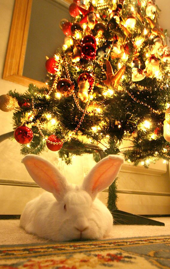 New Zealand White Rabbit Under The Christmas Tree