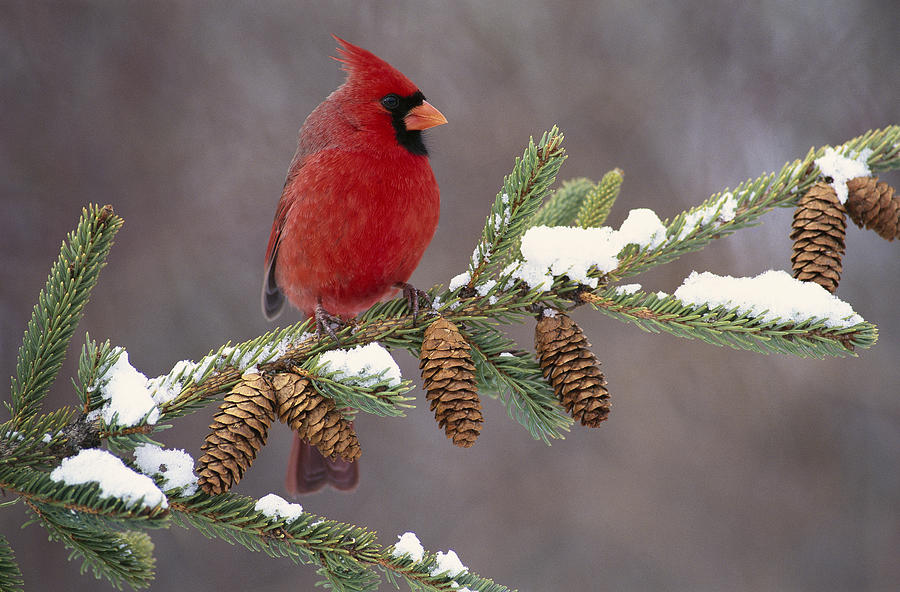 Northern Cardinal And Pine Cones Photograph By Steve Gettle