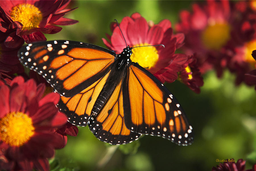 Orange Drift Monarch Butterfly by Christina Rollo