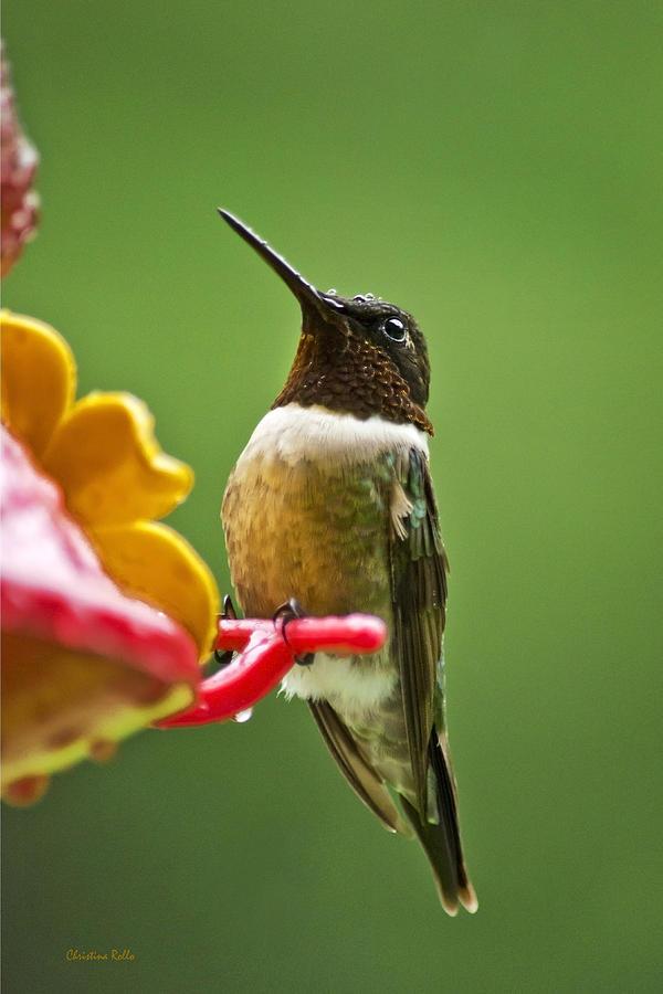 Rainy Day Hummingbird Art Prints for Sale