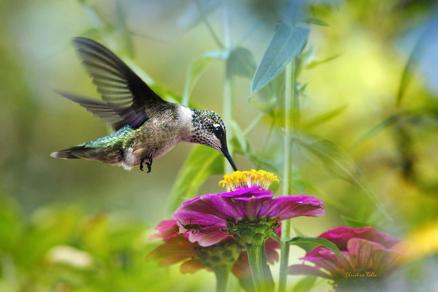 Sweet Success Hummingbird Art Prints for Sale