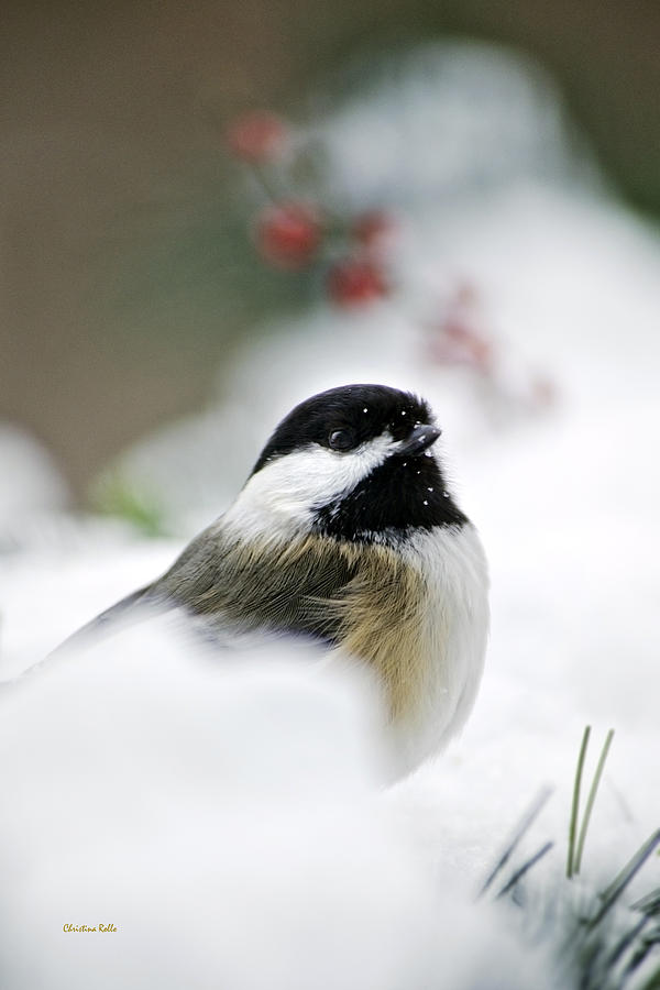 White Winter Chickadee Art Prints for Sale